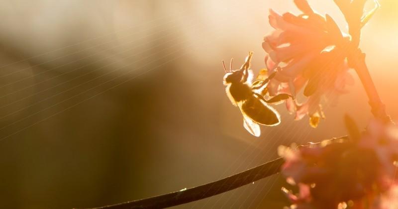 Qualifiés de «tueurs d'abeilles», trois insecticides vont être interdits en Europe, annonce la Commission européenne