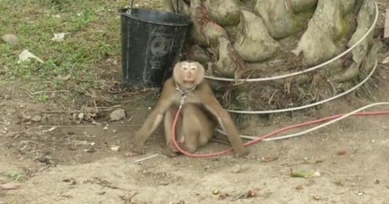 Dans une vidéo, Peta Asia dévoile le cruel dressage des singes, utilisés dans la cueillette des noix