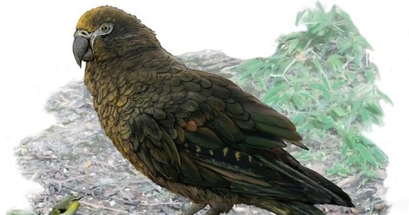 Les restes d'un perroquet géant, mesurant 1m de long, ont été identifiés en Nouvelle-Zélande