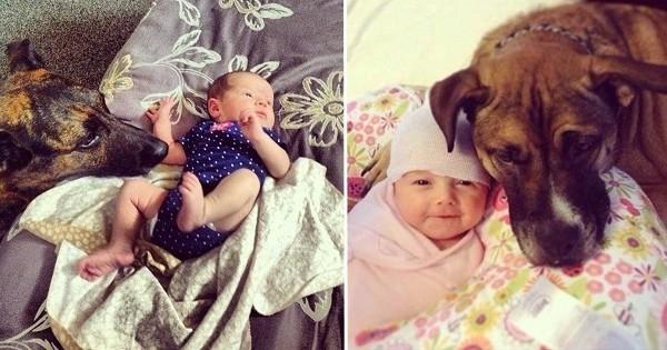 30 photos de chiens qui sont tombés totalement amoureux des bébés fraîchement arrivés au monde...