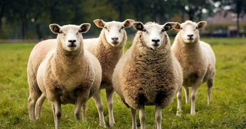 Des parents d'élèves inscrivent quinze moutons dans une école pour éviter la suppression d'une classe