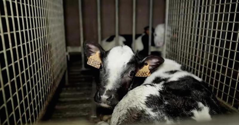 Dordogne : L214 diffuse une vidéo très choquante tournée dans l'abattoir de veaux de Sobeval