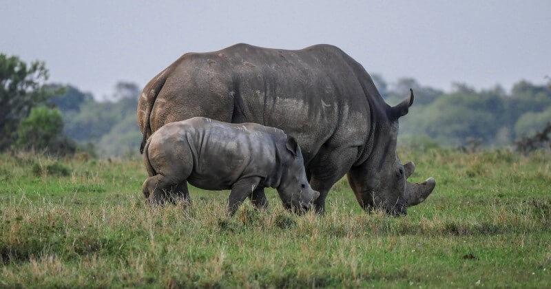 Pour la première fois en 21 ans, aucun rhinocéros n'a été tué par des braconniers au Kenya