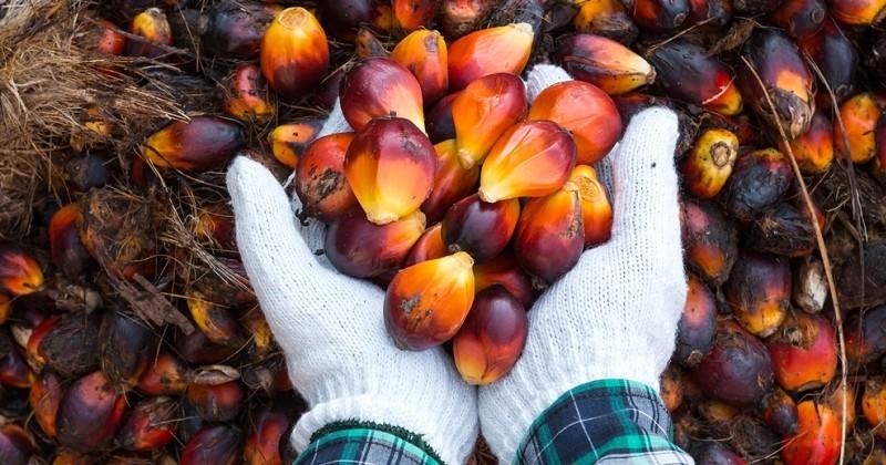 Selon Greenpeace, des multinationales se fournissent en huile de palme auprès d'entreprises qui ne respectent pas les normes environnementales