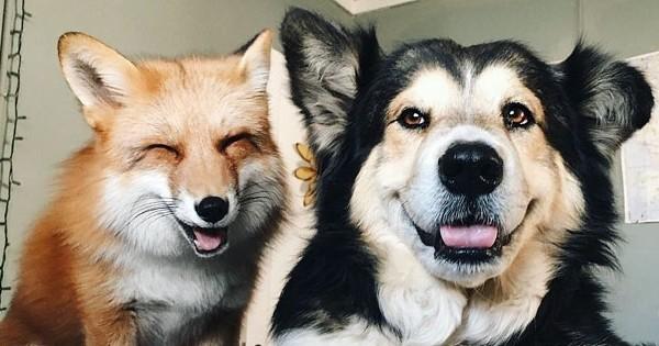 Ce chien et ce renard sont les meilleurs amis du monde. Leurs photos sont très drôles !