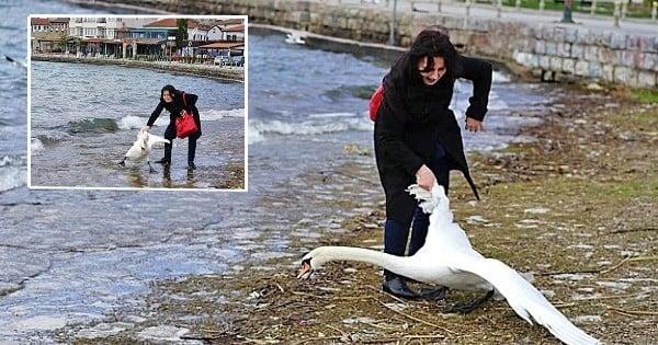 Scandaleux ! Un cygne meurt sur une plage après avoir été tiré hors de l'eau... pour un selfie