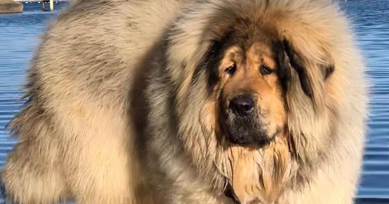 Bailey, un chien à la fourrure abondante qui ne passe pas inaperçu