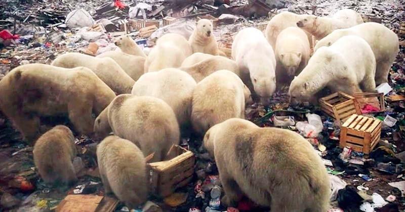 En Russie, un archipel décrète l'état d'urgence face à des ours polaires agressifs qui envahissent les villes