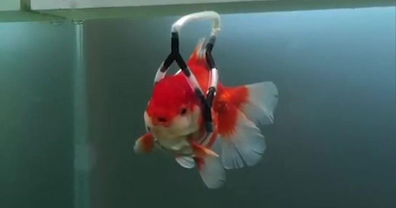 Cet homme a inventé une sorte de « fauteuil flottant » pour sauver son poisson rouge