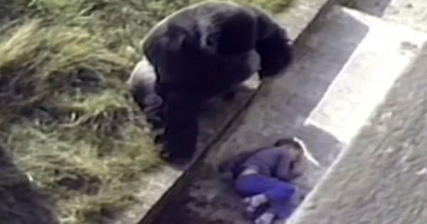 Un enfant tombe accidentellement dans un enclos à gorilles et la réaction du mâle dominant vaut tout l'or du monde… Vous allez être touché !