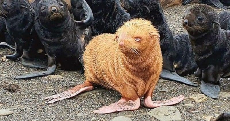 Russie: un phoque roux très rare est né, et il pourrait être rejeté par les autres phoques à cause de sa couleur