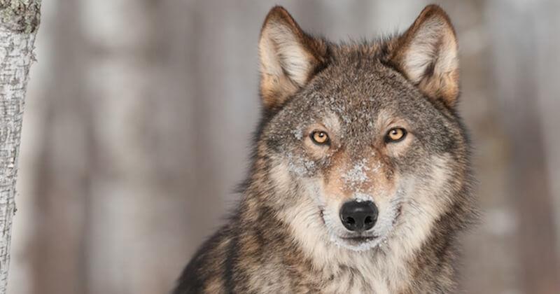 Une louve, tuée par balle par des braconniers, a été pendue devant une mairie des Hautes-Alpes