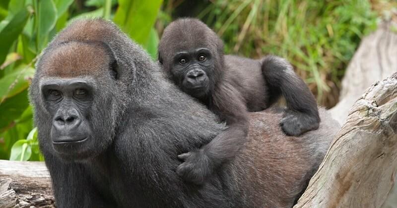 Deux gorilles du zoo de San Diego testés positifs à la Covid-19, premiers cas chez les grands singes