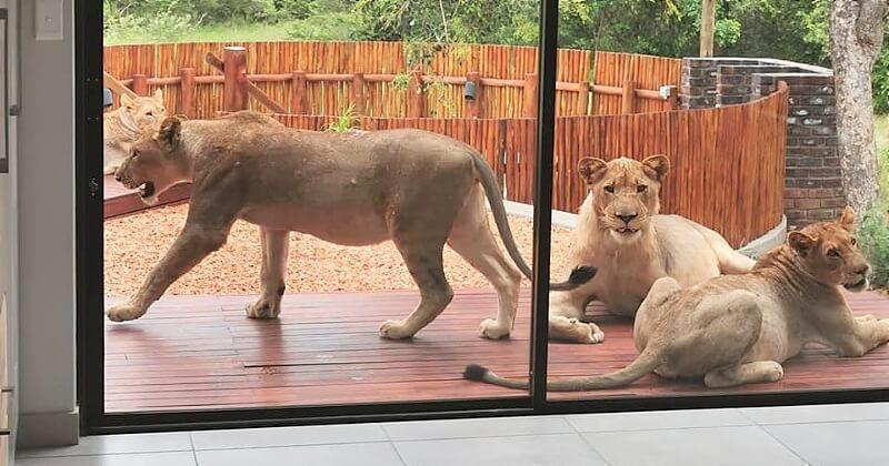 En rentrant chez elle, cette famille sud-africaine a eu la surprise de sa vie en découvrant un groupe de lionnes sur sa terrasse