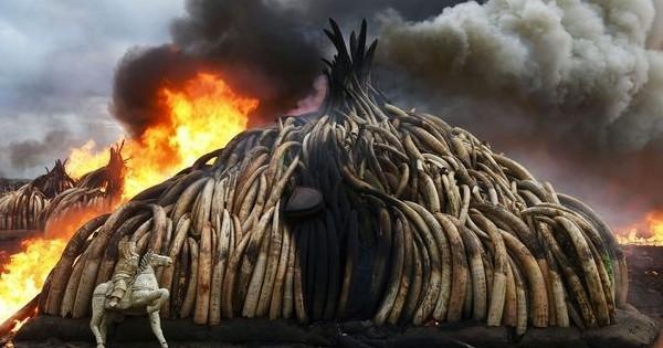 Précurseur en Europe, la France interdit le commerce d'ivoire et ça, c'est une très bonne nouvelle !