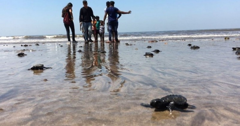 103 tortues sauvages ont vu le jour sur la plage de Bombay, pour la première fois depuis 20 ans : une surprise incroyable pour cette ville défigurée par la pollution