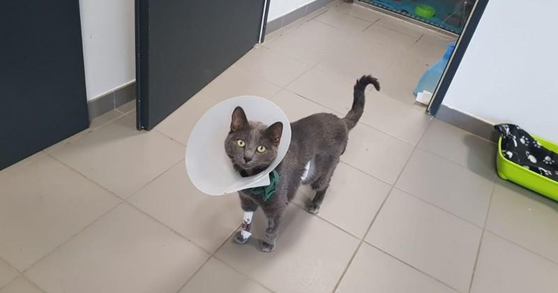 À Lyon, un chat a subi une transplantation rénale, une première en France