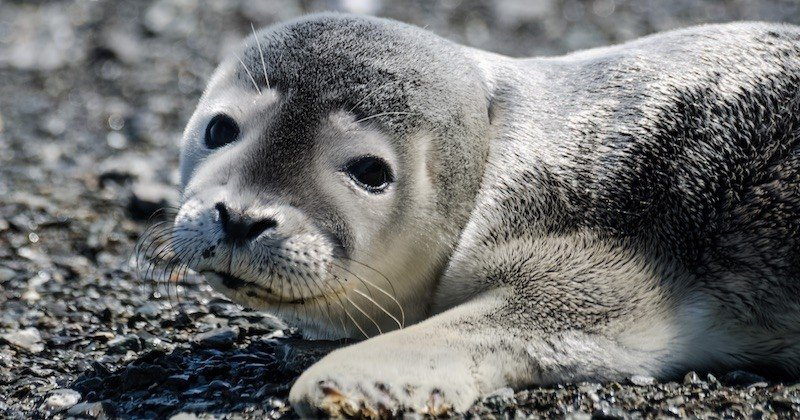 Un bébé phoque, échoué et agonisant sur une plage de Dunkerque, sauvé par des promeneuses