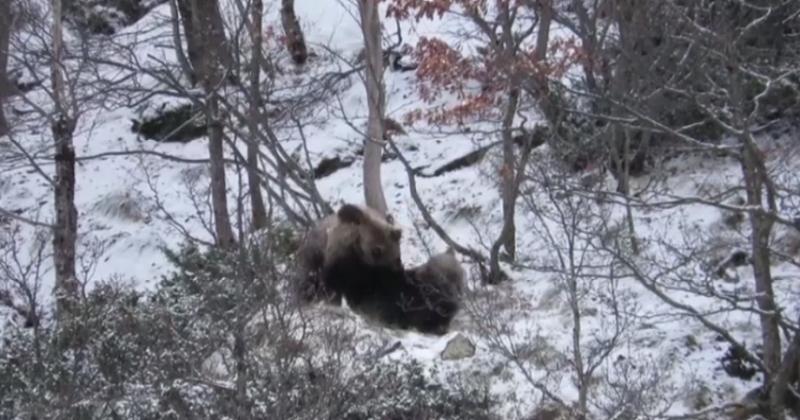 Deux jeunes ours filmés en train de se chamailler dans la neige printanière des Pyrénées