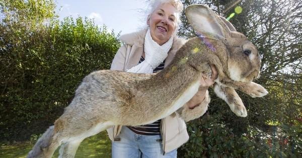 Voici Darius et Jeff, les plus gros lapins du monde... Impressionnants !