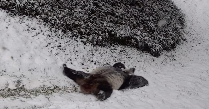 Dans ce zoo américain, ces pandas géants s'amusent comme des petits fous avec la neige