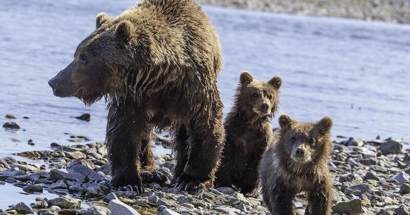 Alaska : l'administration Trump autorise officiellement la chasse des ours jusque dans leurs tanières