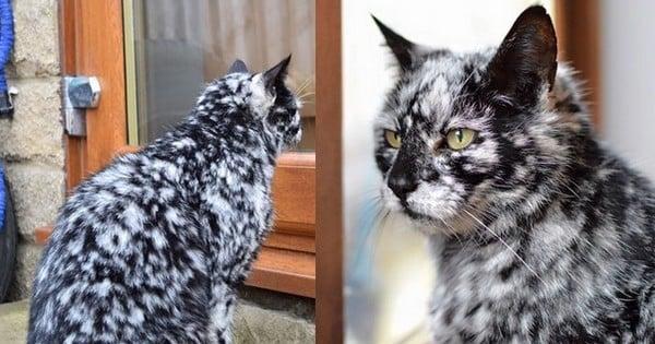 Ce magnifique chat au pelage marbré va vous faire craquer : atteint d'une anomalie rare, l'animal est également âgé... de 19 ans !