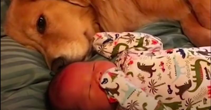 Sadie, un golden retriever qui adore son petit frère humain
