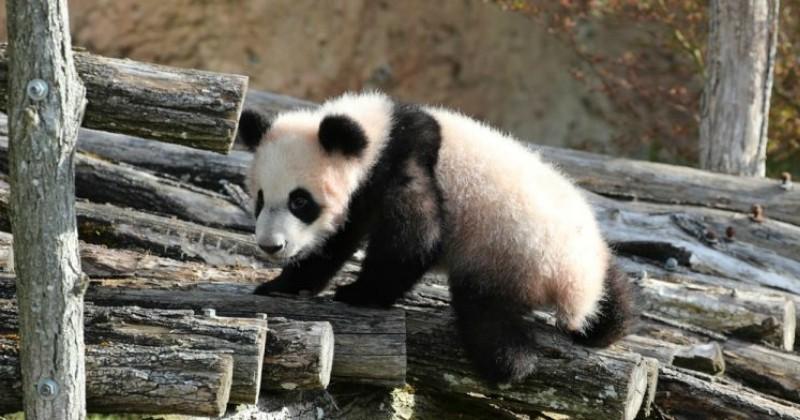 Le bébé panda du zoo de Beauval plus populaire que le Mont-Saint-Michel ou le château de Chambord