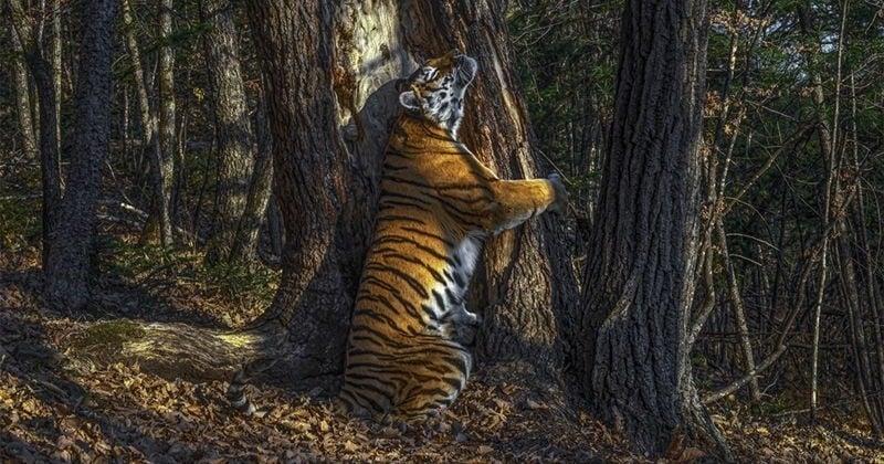Sur ce cliché aussi beau que symbolique, une tigresse se blottit contre un arbre dans une magnifique étreinte