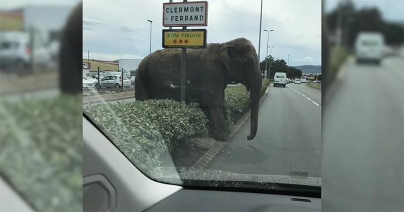 Une éléphante se promène tranquillement au milieu de la route, près de Clermont-Ferrand... Une scène vraiment incroyable !