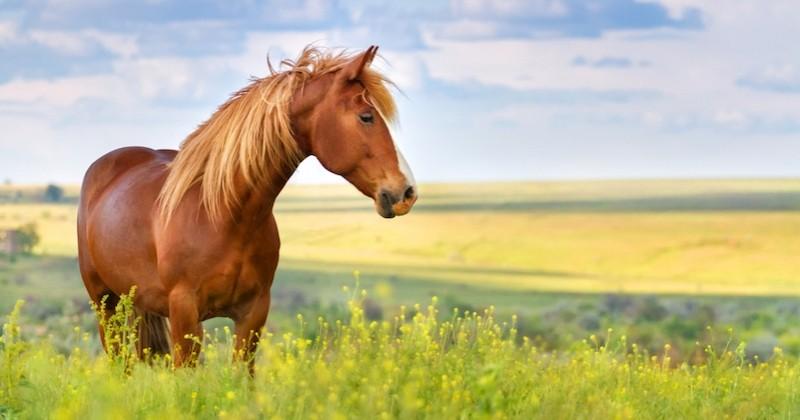 Une ponette retrouvée morte et mutilée en Saône-et-Loire, trois autres chevaux et leur propriétaire agressés dans l'Yonne