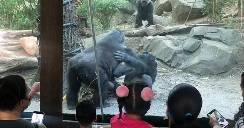Dans leur enclos, deux gorilles pratiquent le sexe oral sous l'oeil choqué des enfants