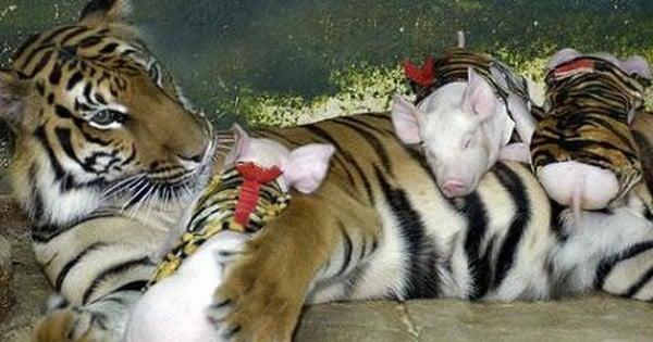 Après avoir perdu ses petits, cette maman tigre a failli se laisser mourir de chagrin... Jusqu'à ce qu'elle adopte ces petits cochons orphelins !