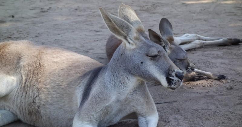 À coups de briques et de morceaux de bétons, des visiteurs provoquent la mort d'une femelle kangourou dans un zoo chinois