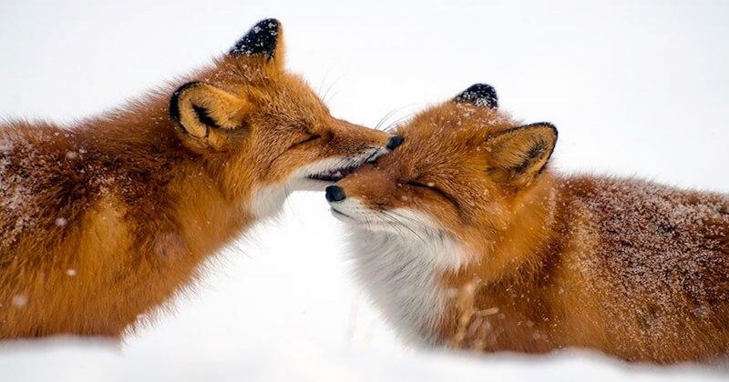 En Russie, ce jeune photographe immortalise les renards dans le cercle arctique