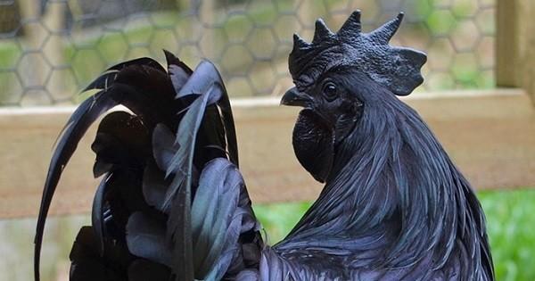 Complètement noir, des plumes aux os, en passant par la crête, voici le « coq gothique »... Une espèce très rare !