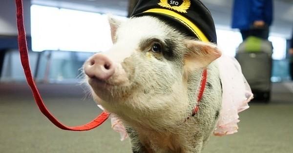 Le job de ce cochon ? Aider les voyageurs de l'aéroport de San Francisco à se détendre avant de prendre leur vol