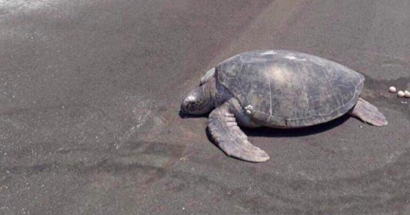 Venue pondre ses oeufs, cette tortue se retrouve sur une piste d'atterrissage construite sur la plage où elle est née