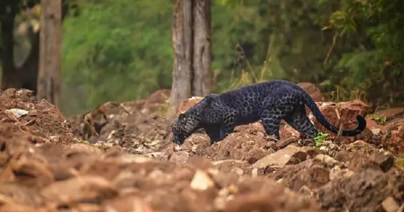 Inde: un photographe animalier a immortalisé un rare léopard noir en train de chasser