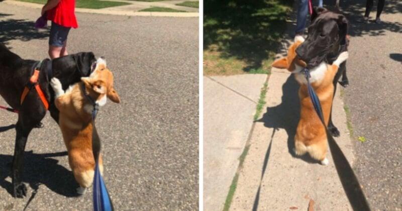 Ce corgi fait des câlins à tous les chiens qu'il rencontre dans la rue
