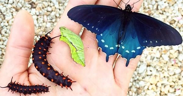 Tout seul, dans son jardin, cet homme est en train de repeupler l'espèce d'un papillon très rare