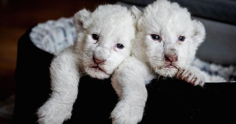 Deux adorables lionceaux blancs, baptisés Simba et Nala, sont nés dans un refuge de Normandie