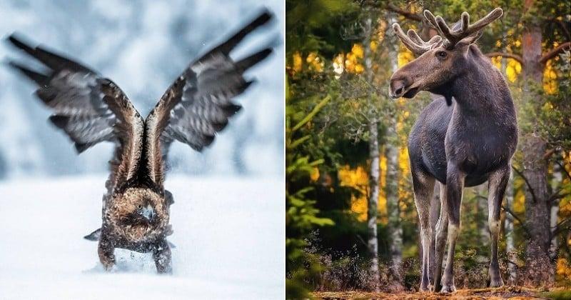 Découvrez la faune sauvage finlandaise comme jamais grâce au talent de ce photographe