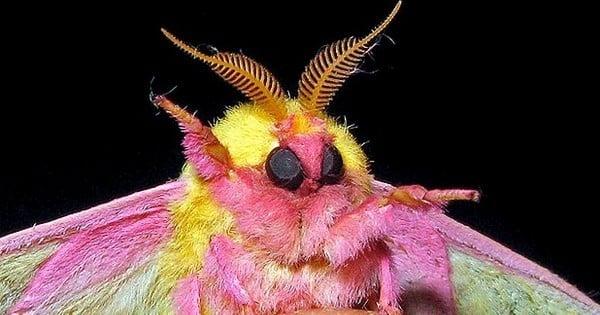 Faites la connaissance de l'insecte le plus mignon que vous verrez aujourd'hui!